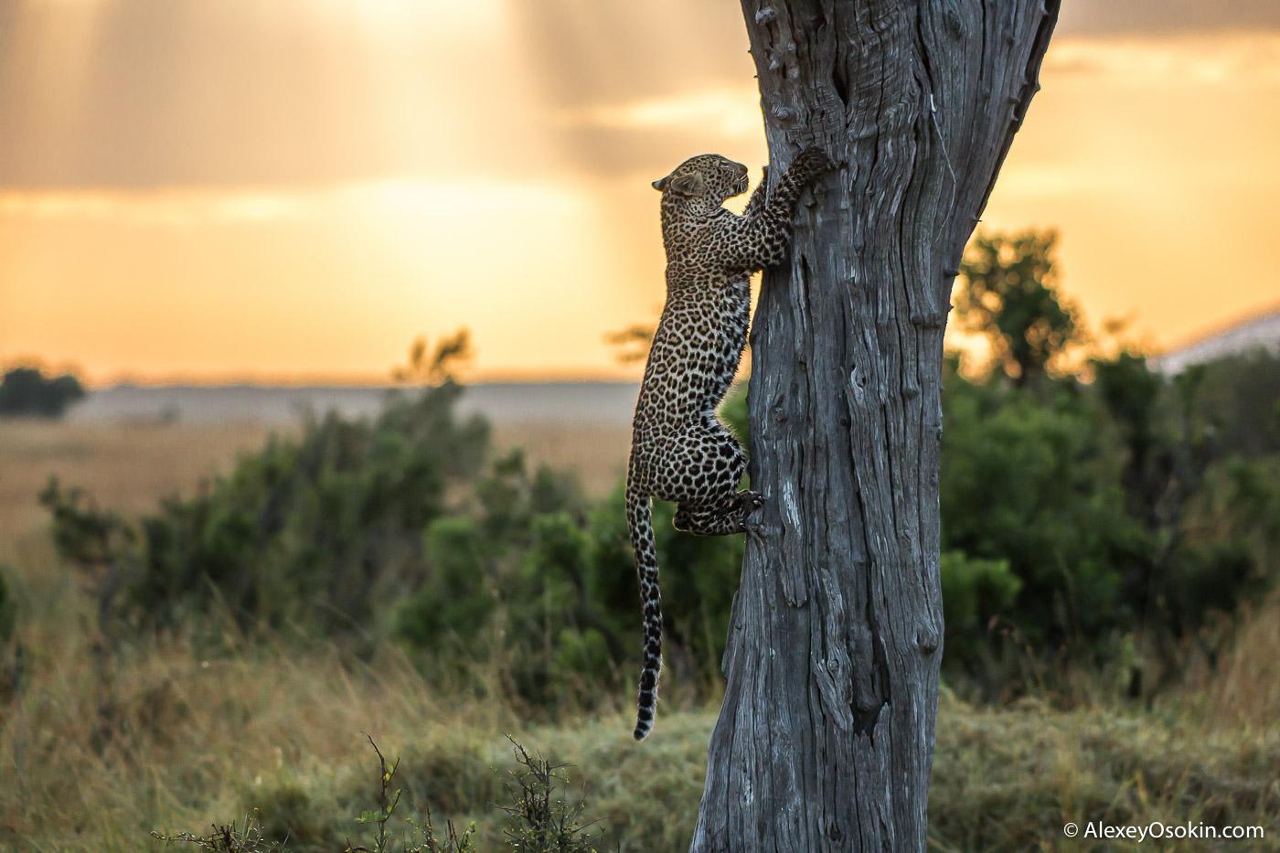 Leopardss_kenya, mar.2016_ao-2.jpg