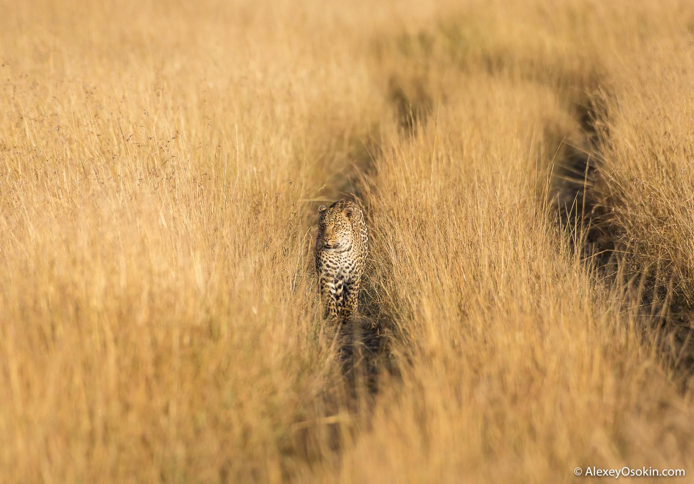 Leopardss_kenya, mar.2016_ao-24.jpg