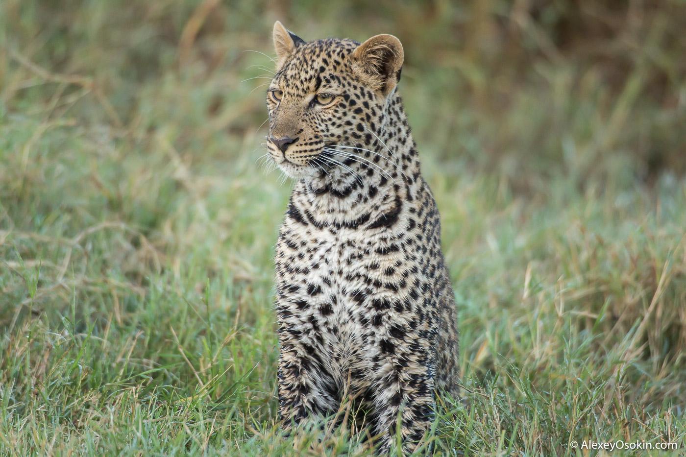 Leopardss_kenya, mar.2016_ao-10.jpg