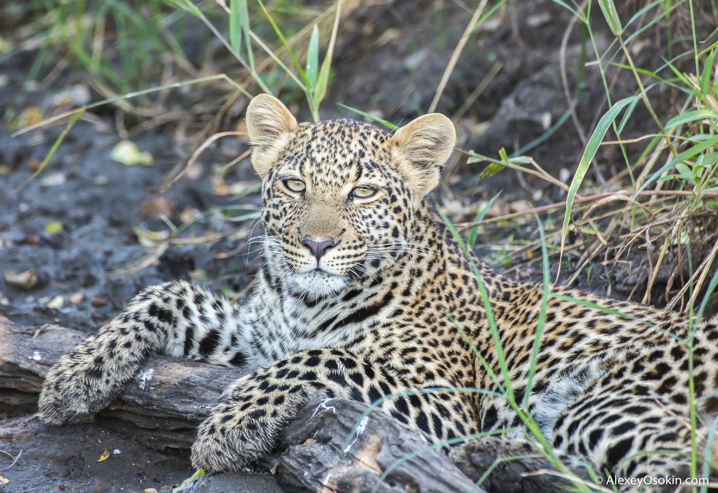 Leopardss_kenya, mar.2016_ao-18.jpg