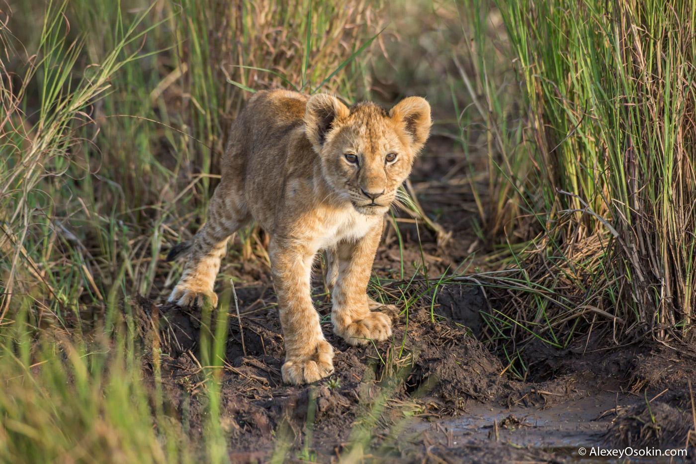Чем львята отличаются от других котят Lions2__kenya, mar.2016_ao-8.jpg