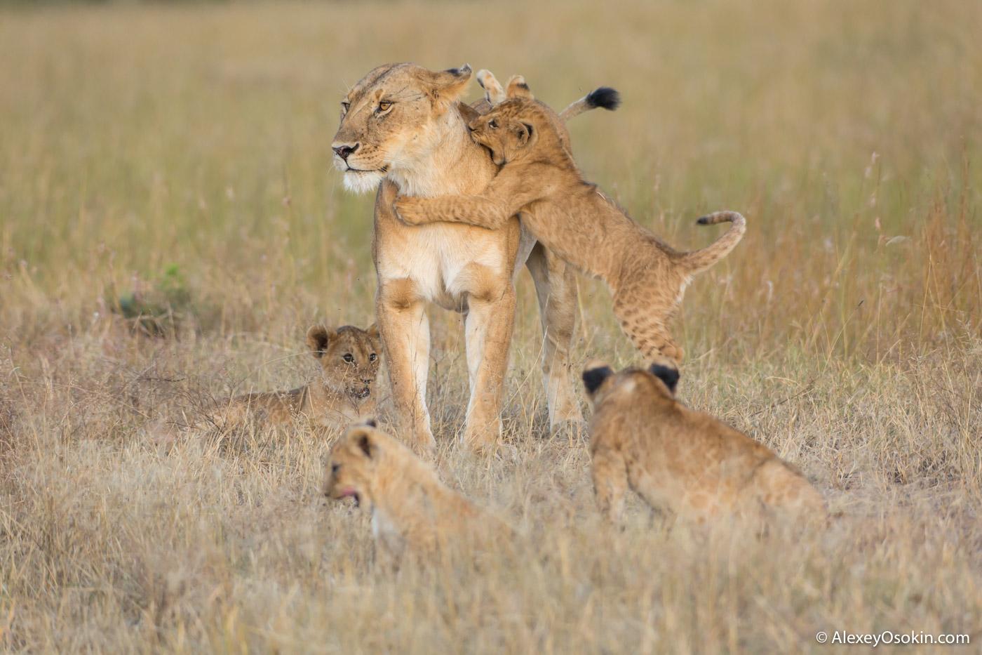 Чем львята отличаются от других котят Lions2__kenya, mar.2016_ao-36.jpg