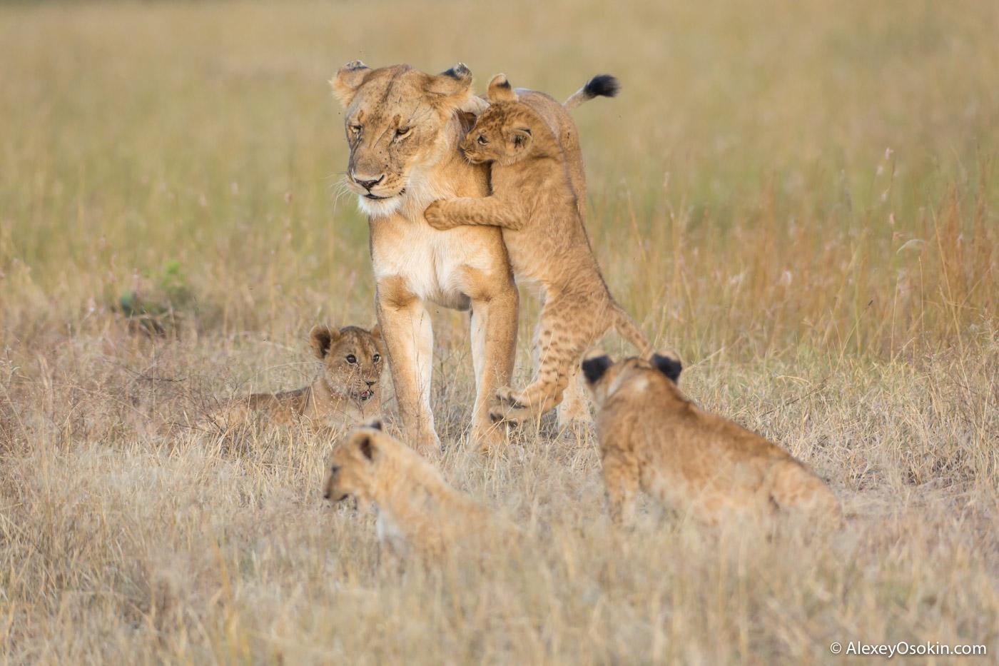 Lions2__kenya, mar.2016_ao-37.jpg