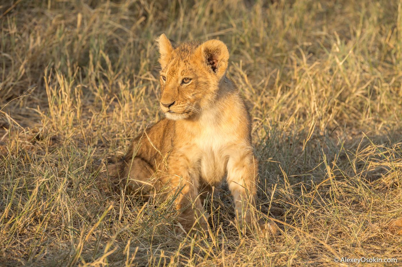 Lions2__kenya, mar.2016_ao-48.jpg