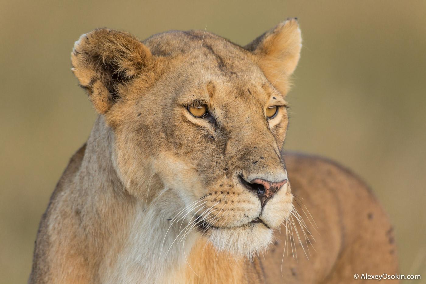 Lions2__kenya, mar.2016_ao-8.jpg