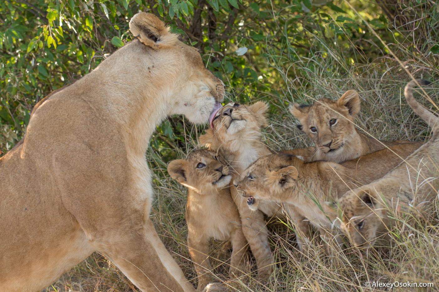 Чем львята отличаются от других котят Lions2__kenya, mar.2016_ao-2.jpg