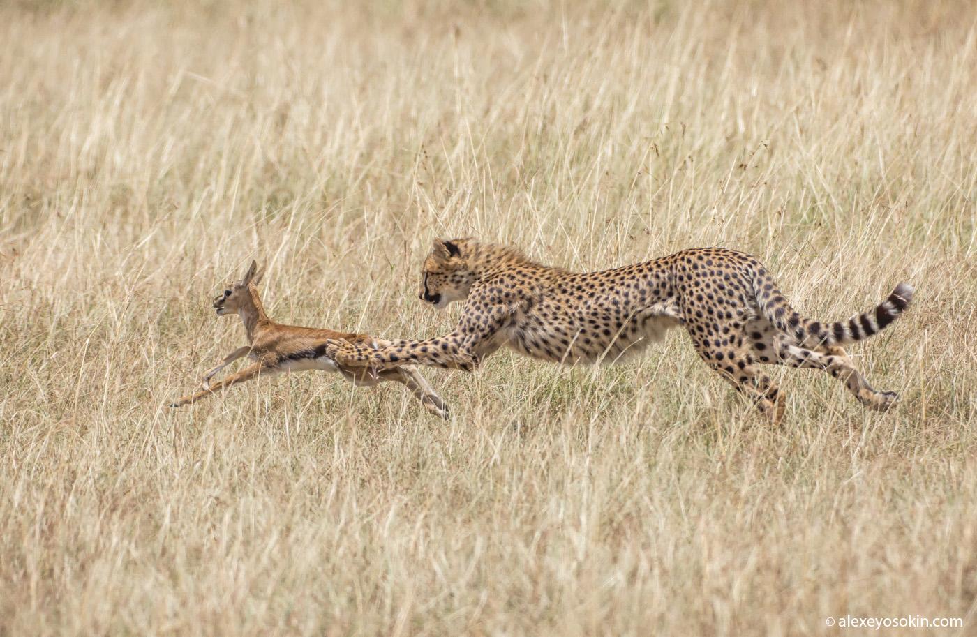 Гепард – не только самый быстрый зверь...
