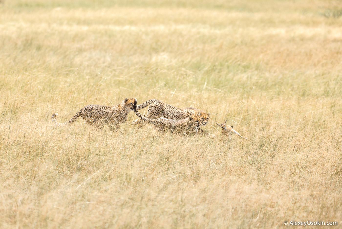 Cheetahs_kenya, mar.2016_ao-16.jpg