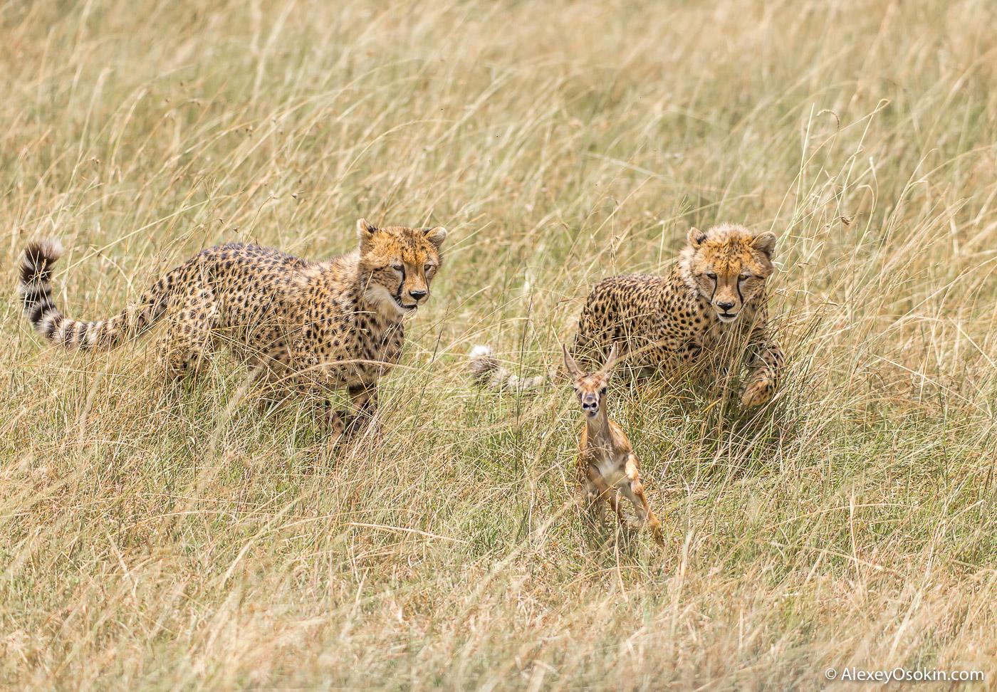 Cheetahs_kenya, mar.2016_ao-18.jpg