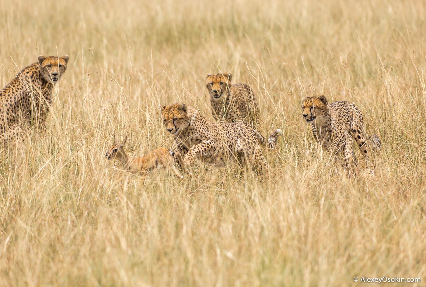 Cheetahs_kenya, mar.2016_ao-19.jpg