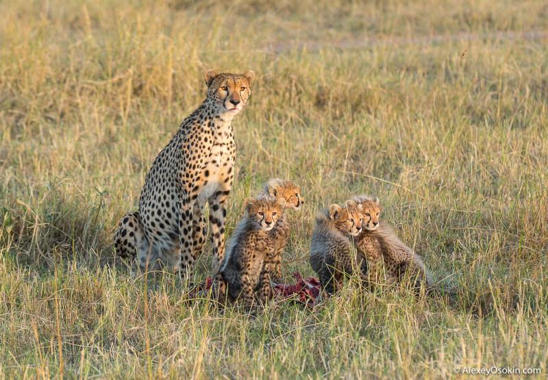 Женщины России и самки диких животных Африки, что общего? cheetahs_aug.2015_NEW_ao-31.jpg