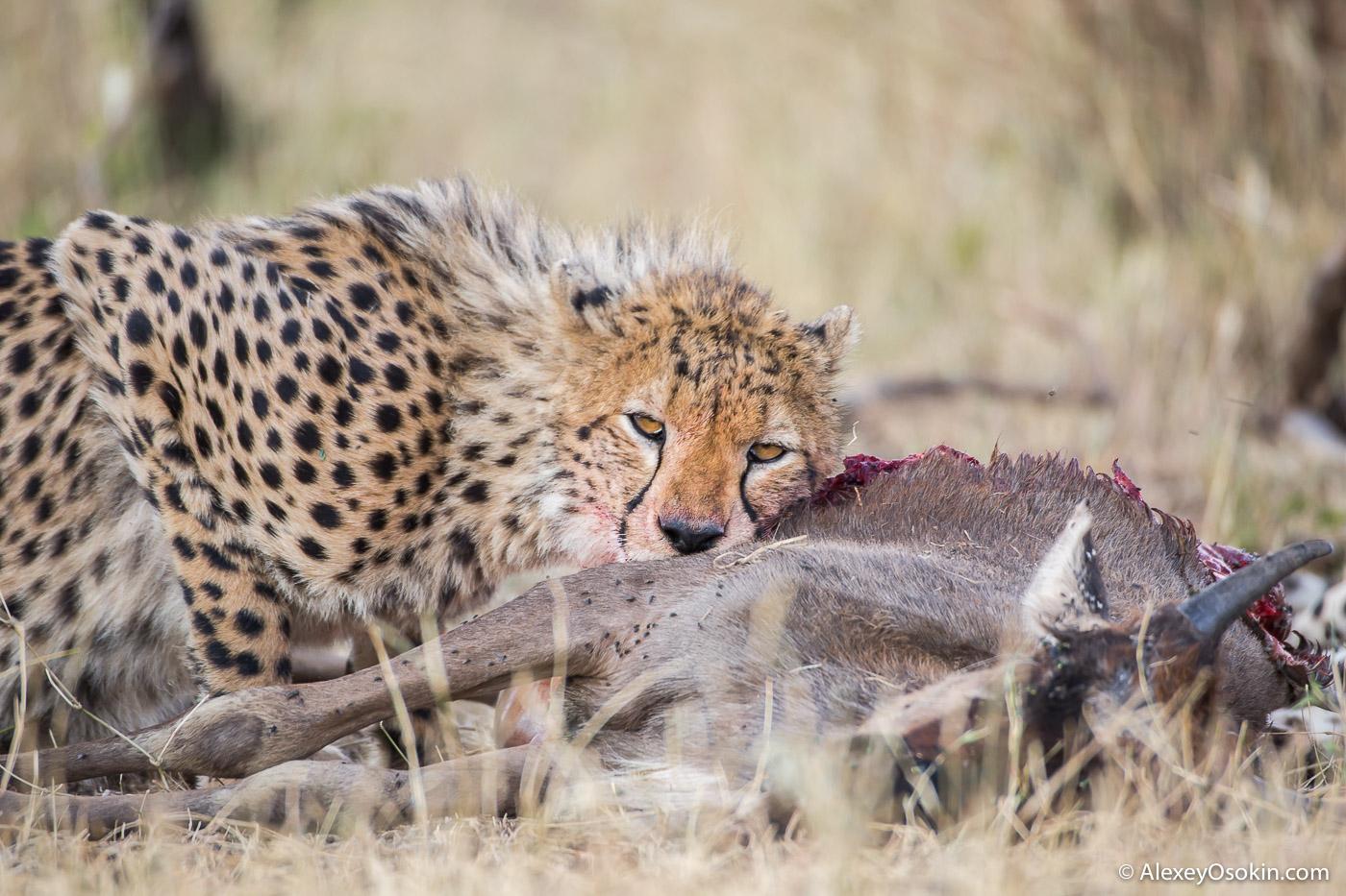 cheetahs_aug.2015_NEW_ao-2.jpg