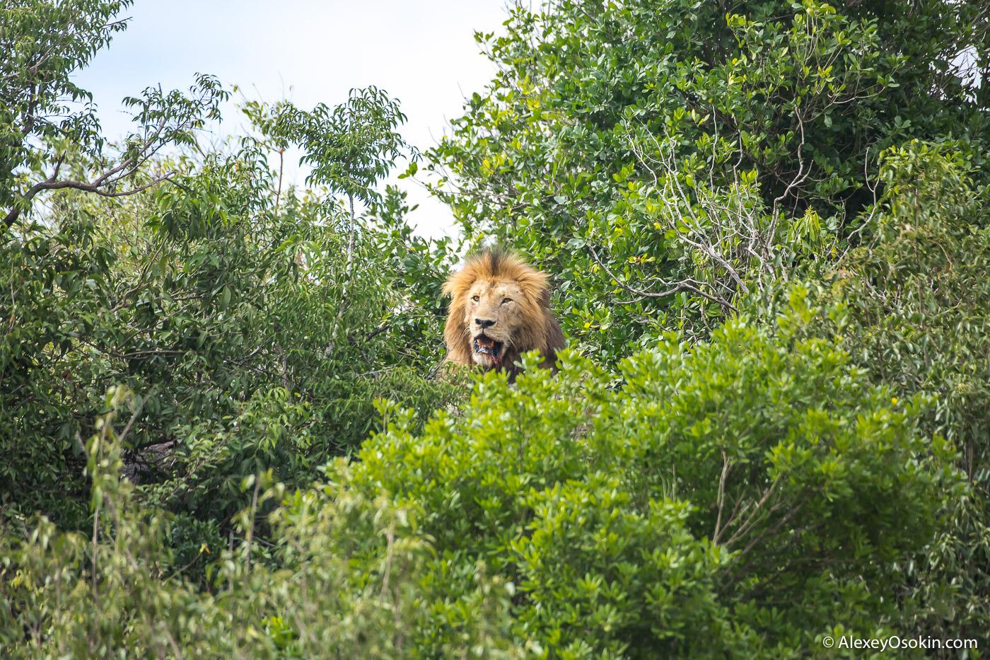 lions_kenya _2015_ao.jpg