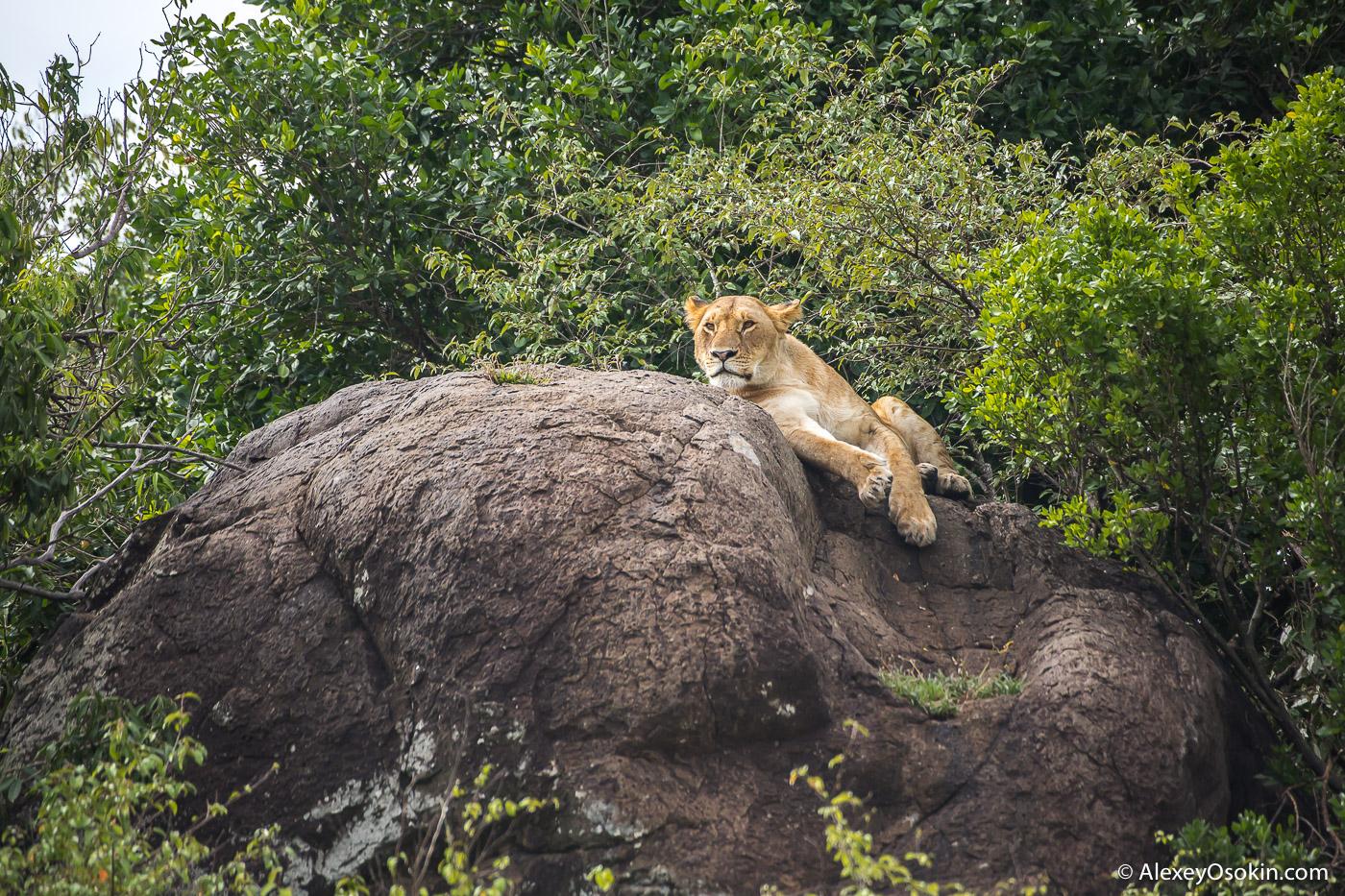 lions_kenya _2015_ao-3.jpg