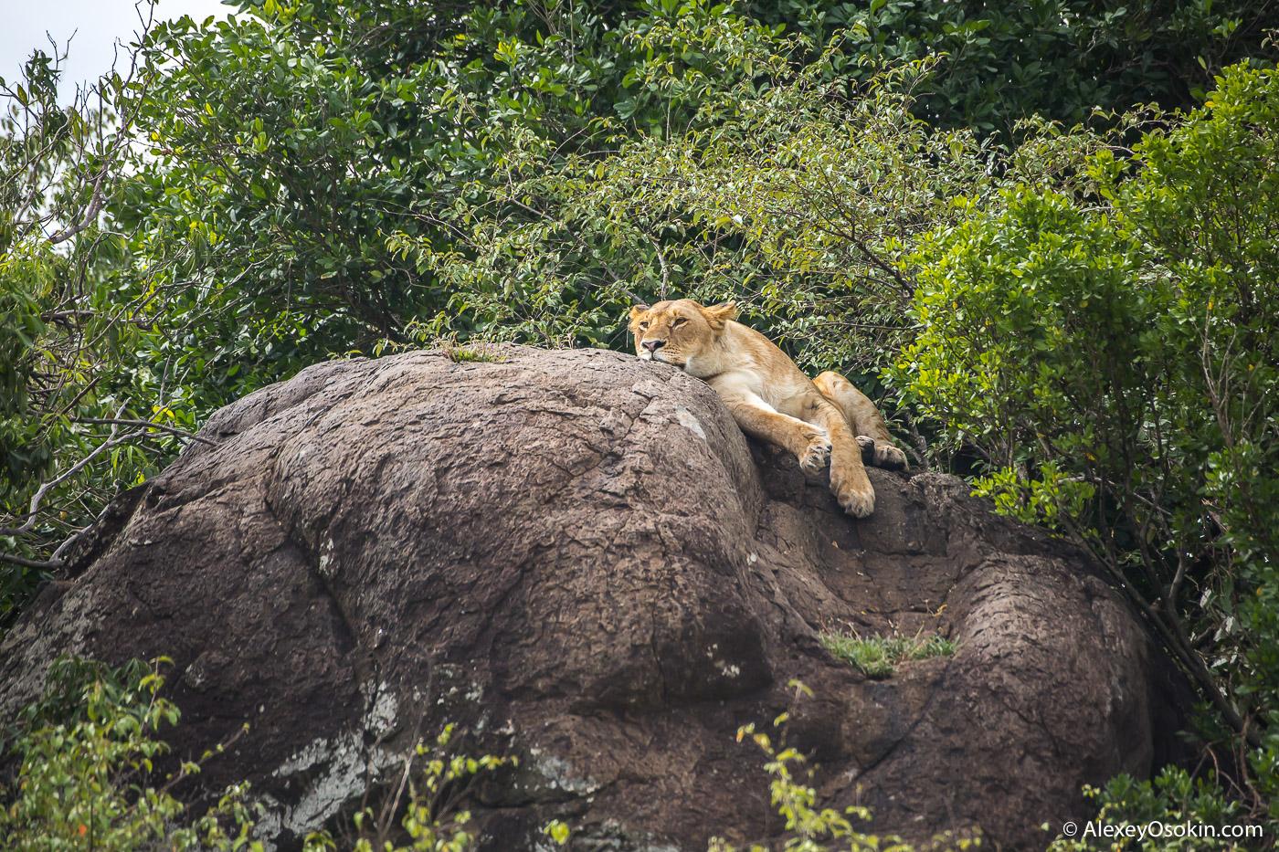 lions_kenya _2015_ao-6.jpg