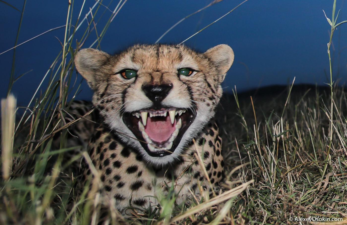 cheetahs_aug.2015_NEW_ao-32.jpg