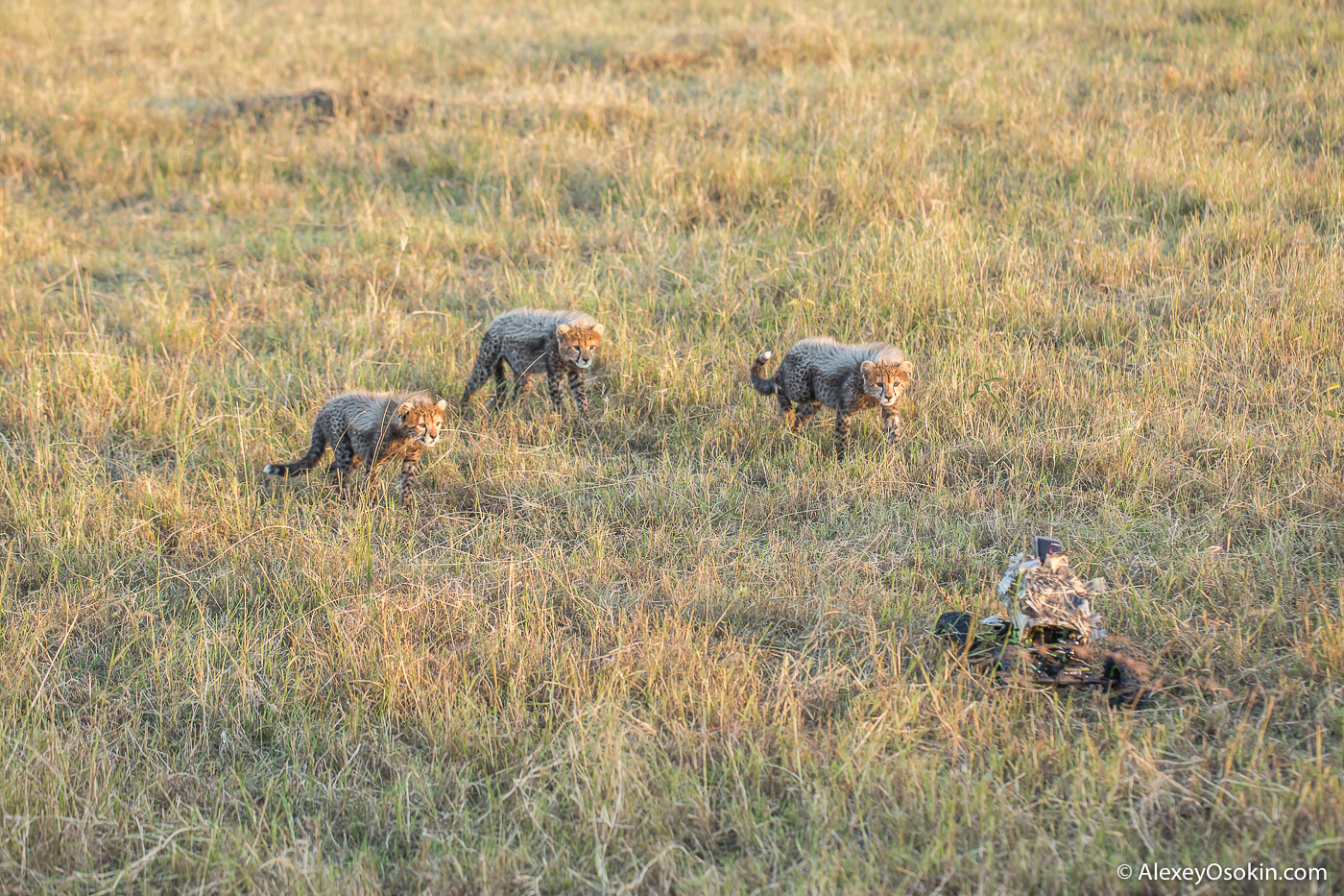 cheetahs_cubs_with_truck _kenya_2015_ao-7.jpg