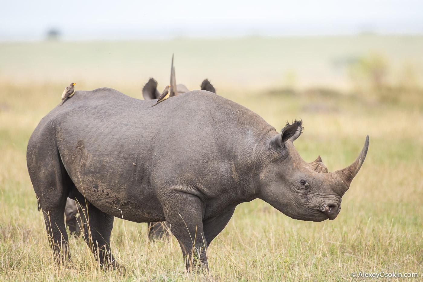 Зачем носорог валяется в грязи? 10+ интересных фактов о носорогах.