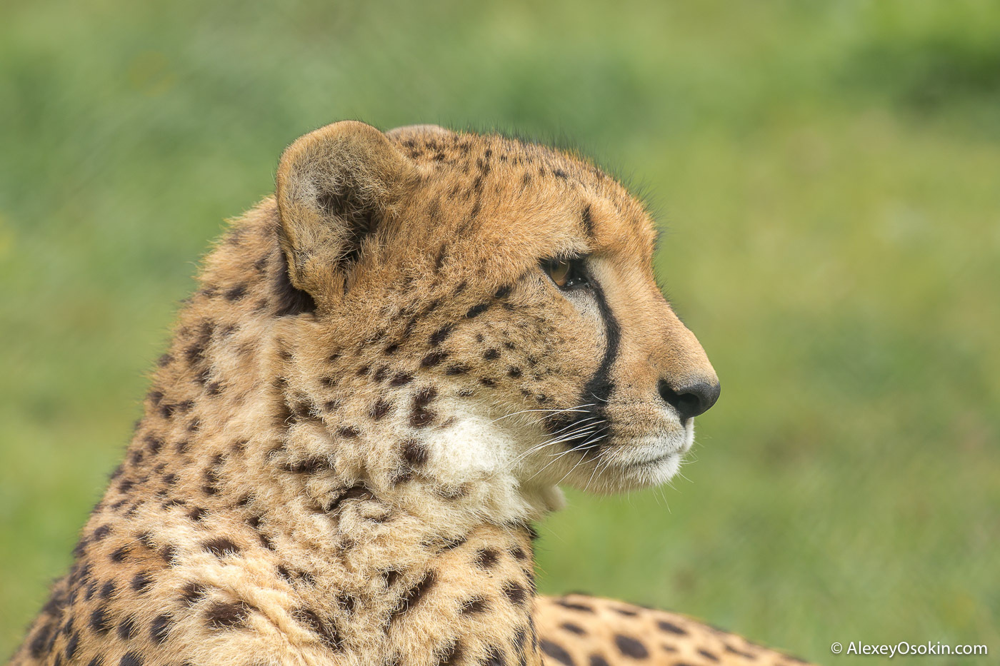 Cheetah_prague_zoo-ao-20.jpg