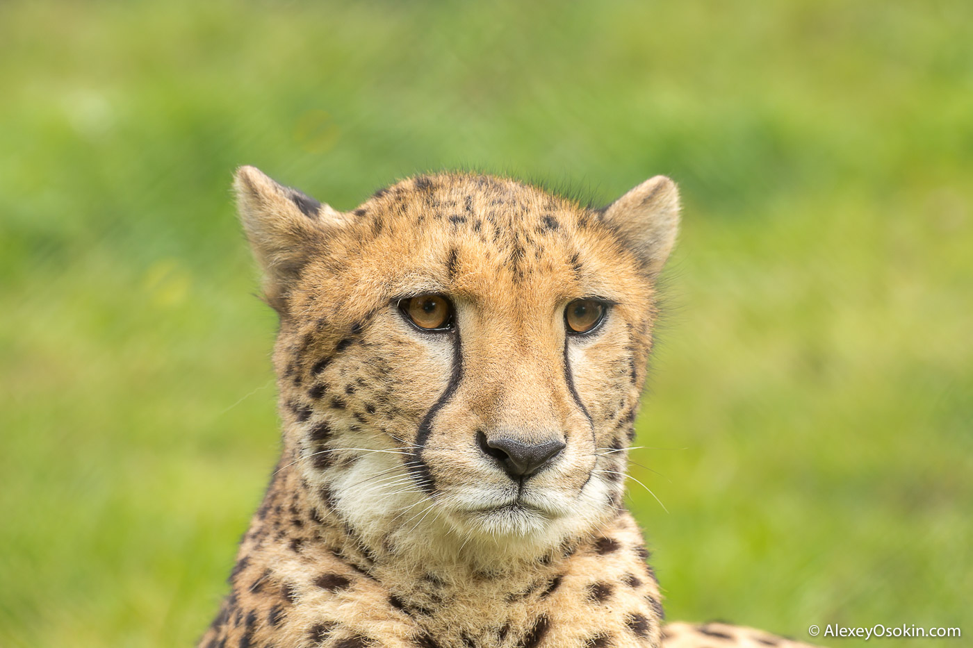 Cheetah_prague_zoo-ao-6.jpg