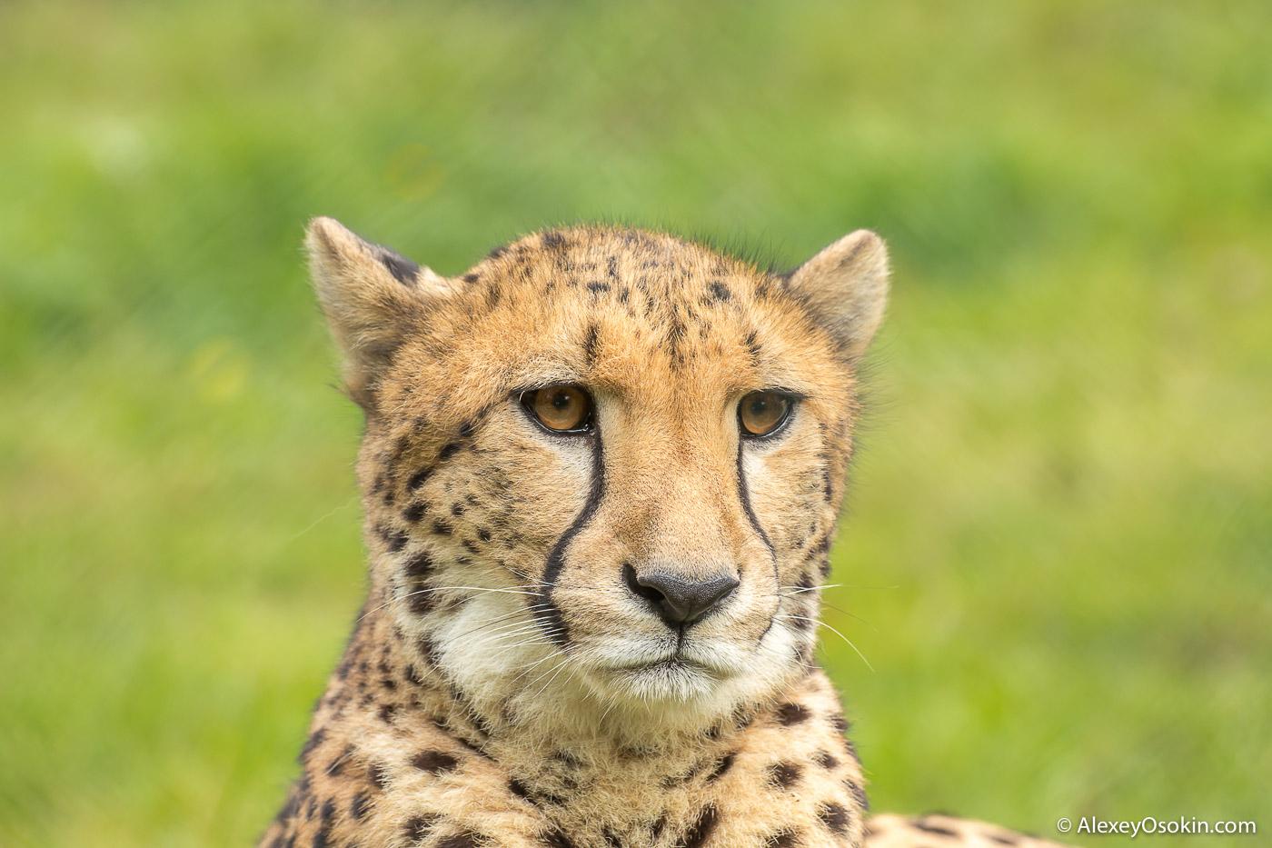 Cheetah_prague_zoo-ao-6.jpg