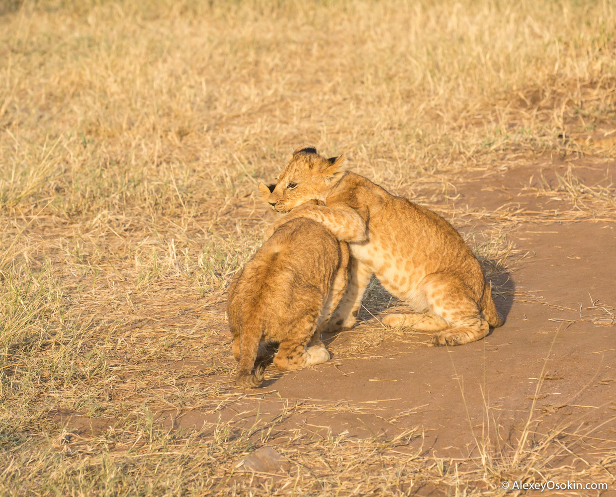 lion-cubs-03-2016-ao-6.jpg