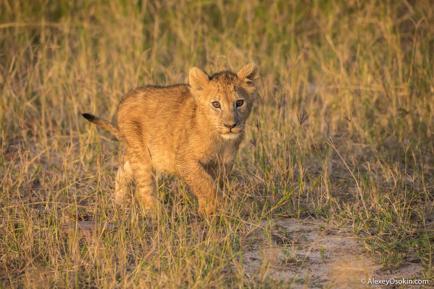 lion-cubs-03-2016-ao-4.jpg