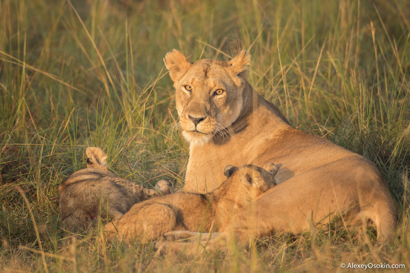 lion-cubs-03-2016-ao-5.jpg