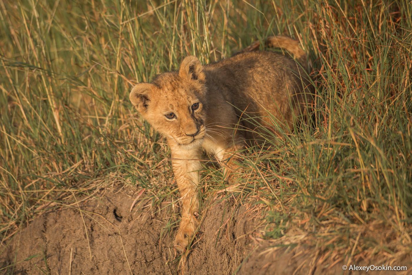 lion-cubs-03-2016-ao-8.jpg