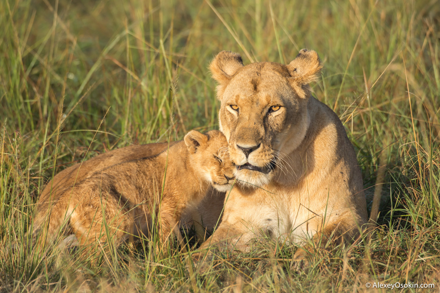 lion-cubs-03-2016-p2-ao-2.jpg