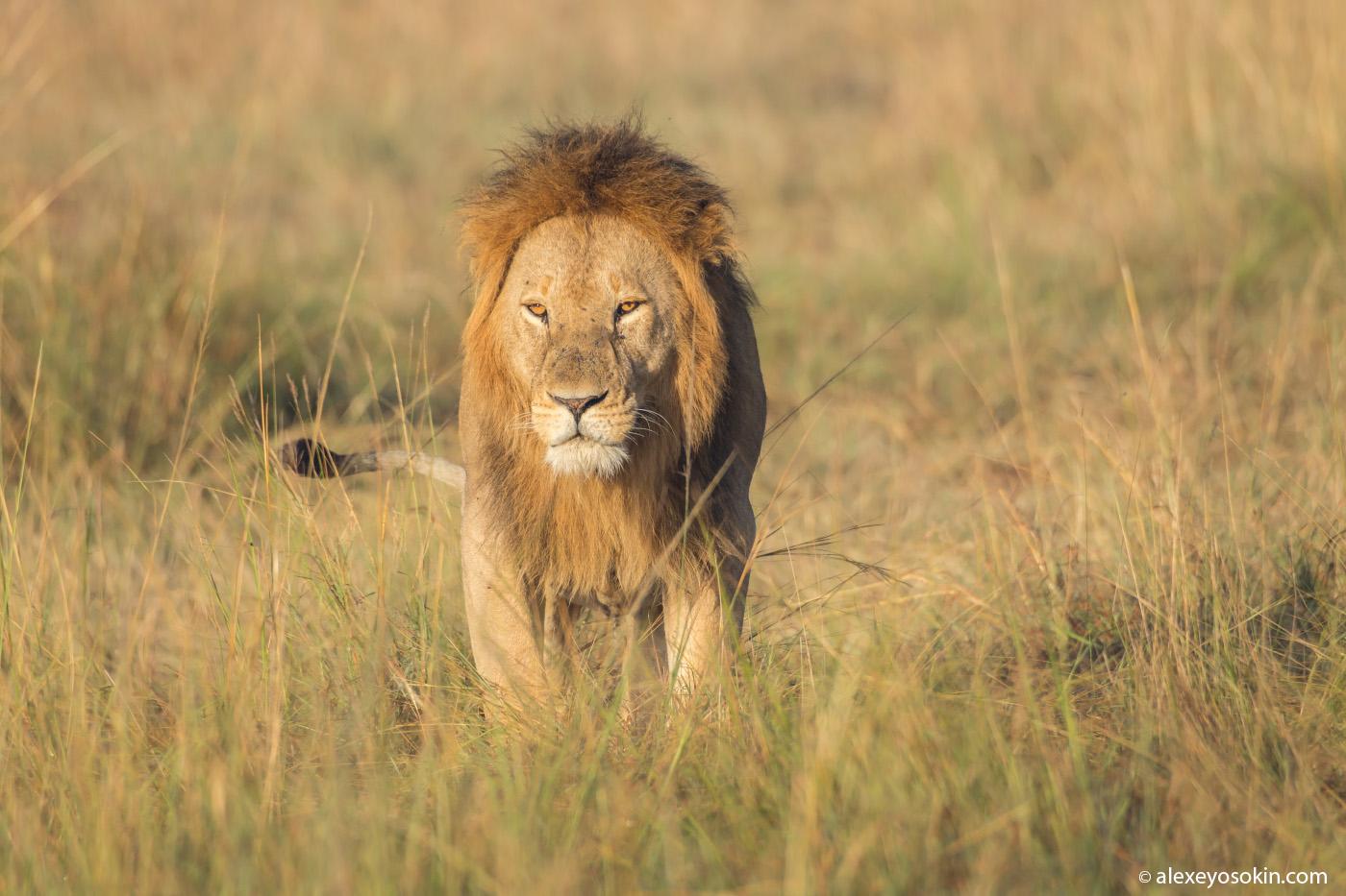 Lions_kenya, mar.2016-43_ao.jpg