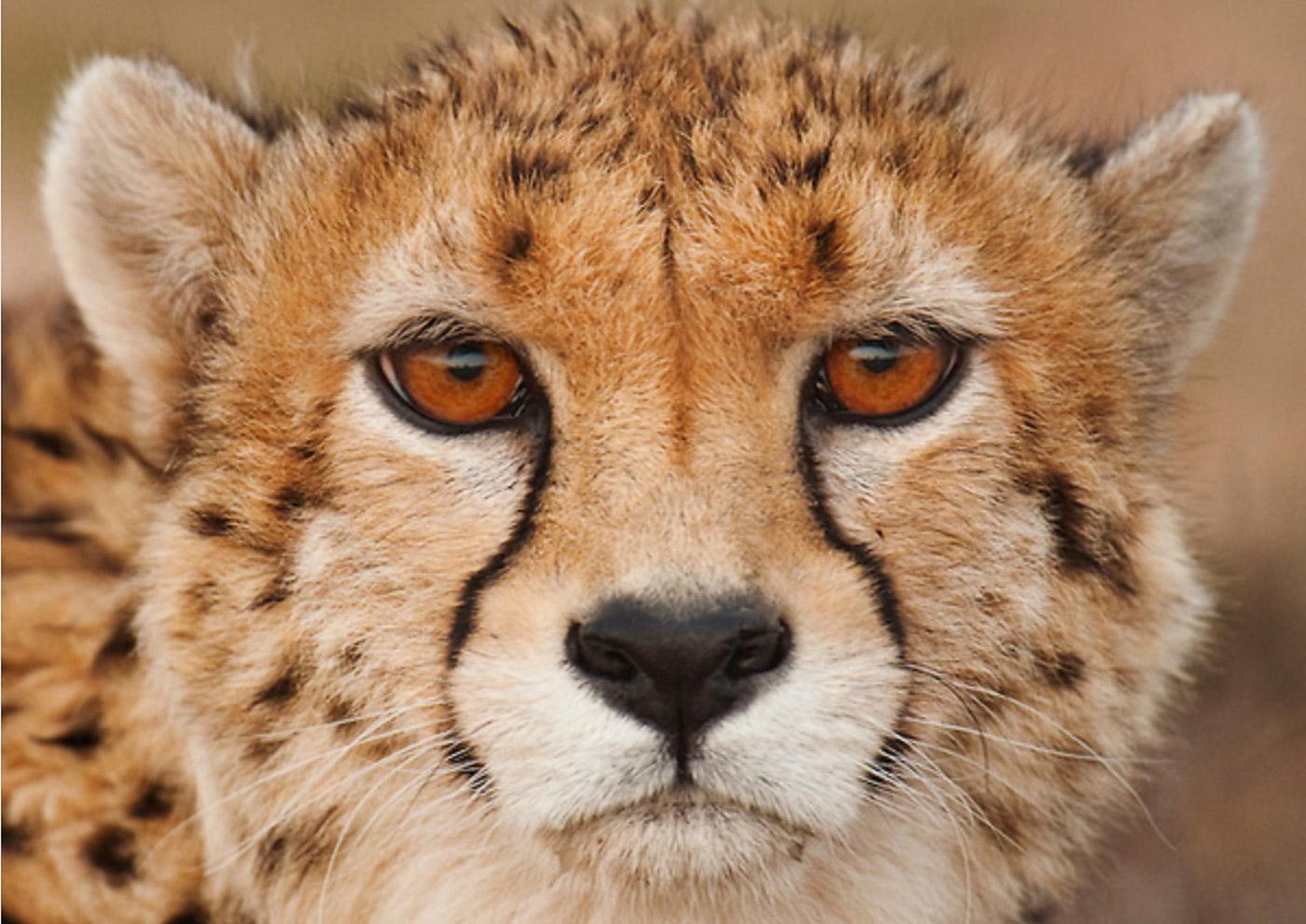 Последняя сотня. Иранский гепард.