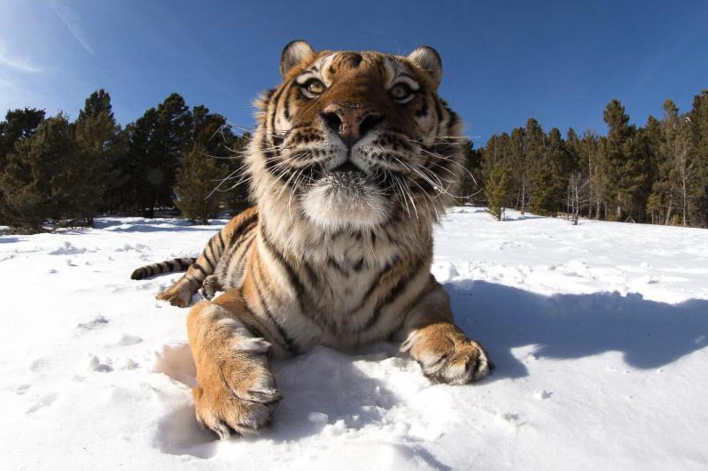 Wild cats in the snow. Photographer Michel Zogzhozhi.