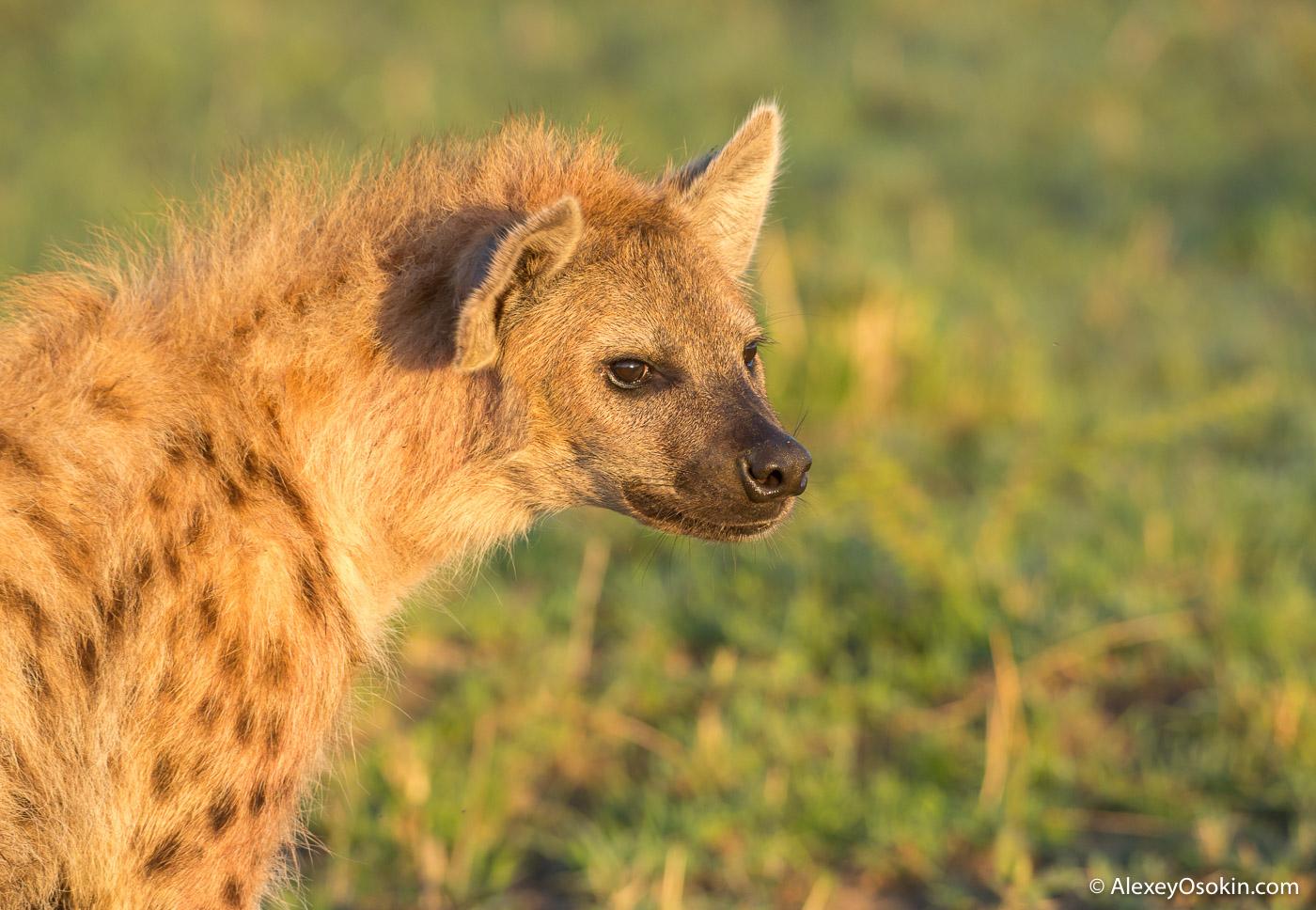 10+ интересных фактов о гиенах