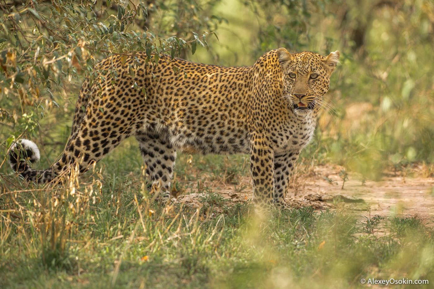 Леопард - животное-невидимка