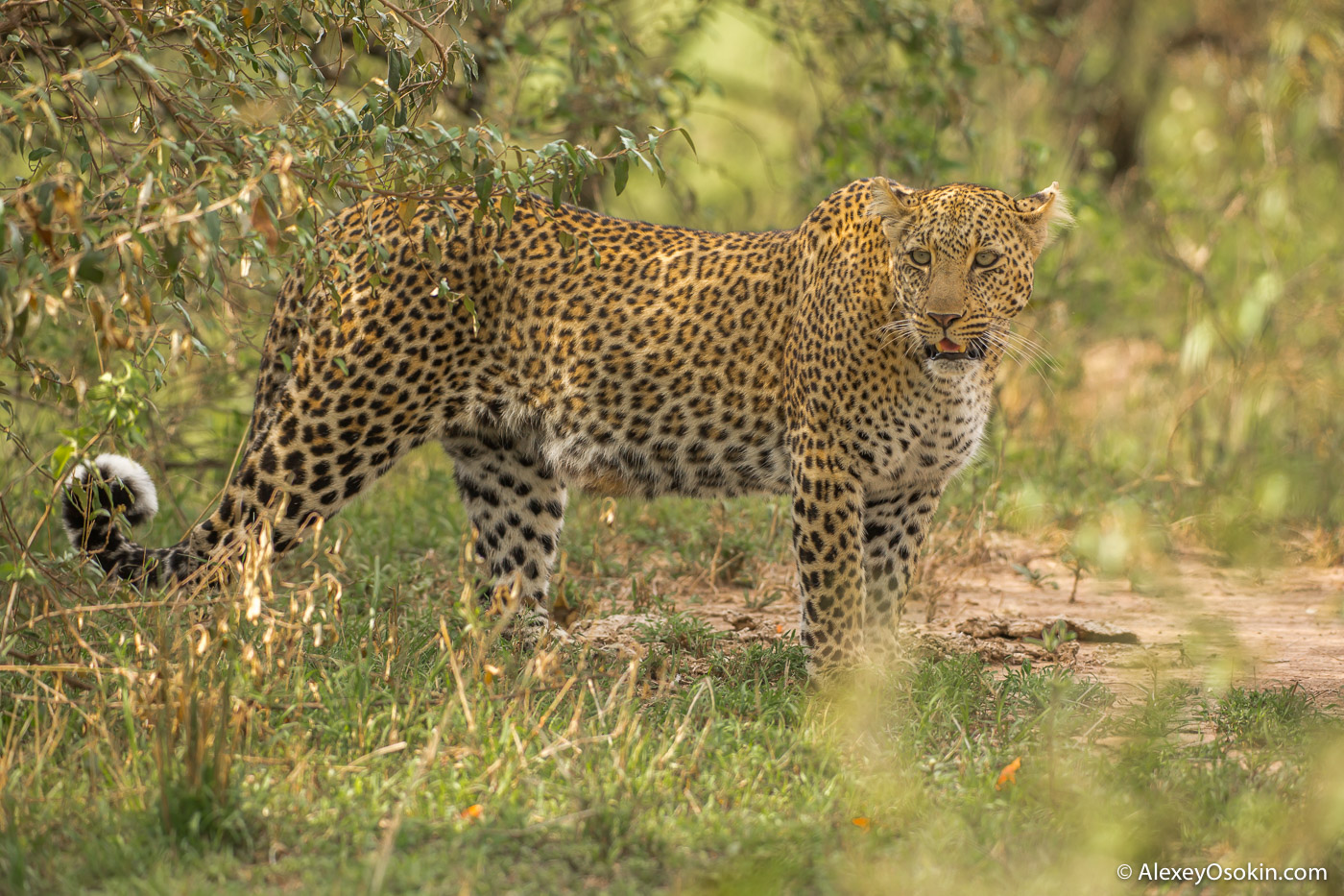 Leopard Bagati, oct.2015_ao-3.jpg