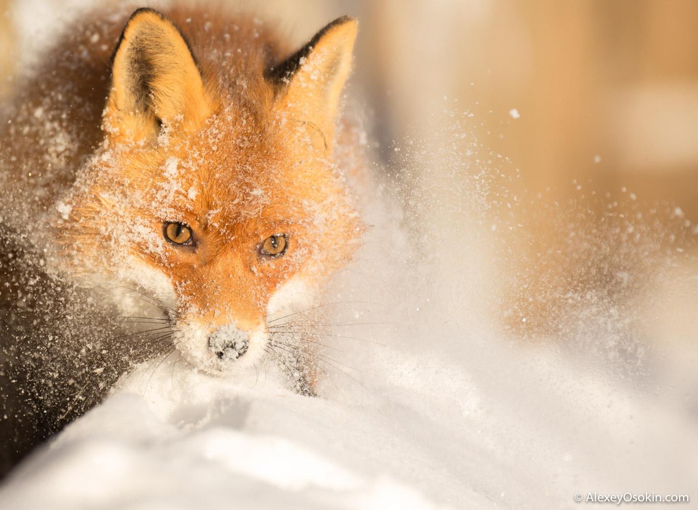 fox_ao.jpg