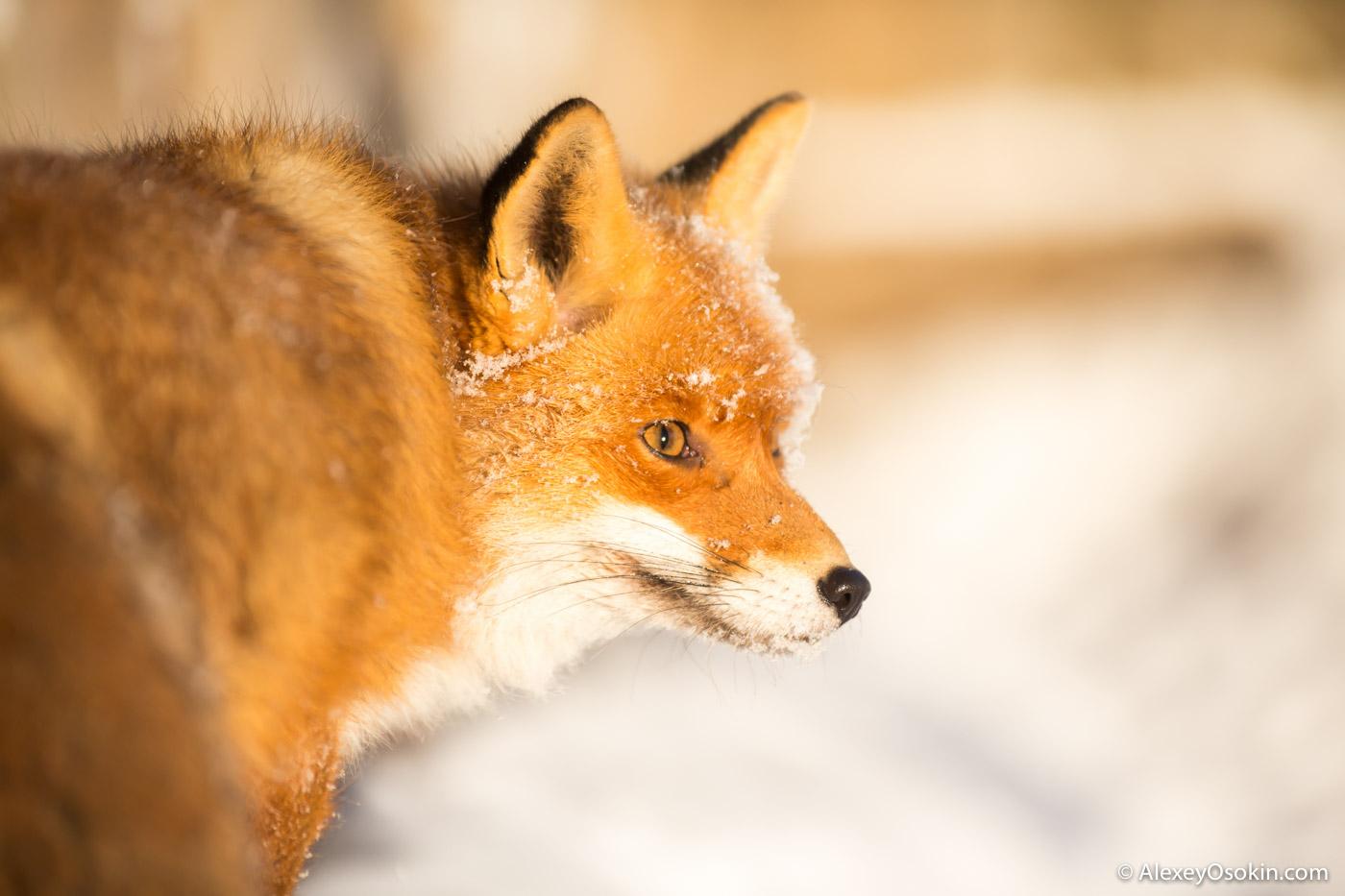 картинки хитрой лисы сердитой только натуральные земляные