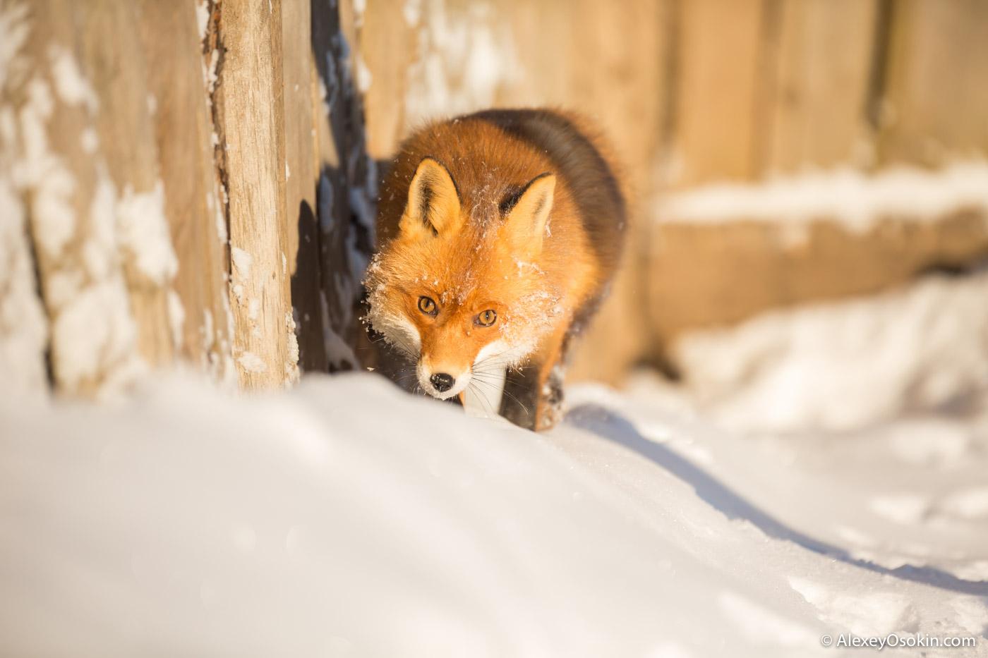 fox_ao-9.jpg