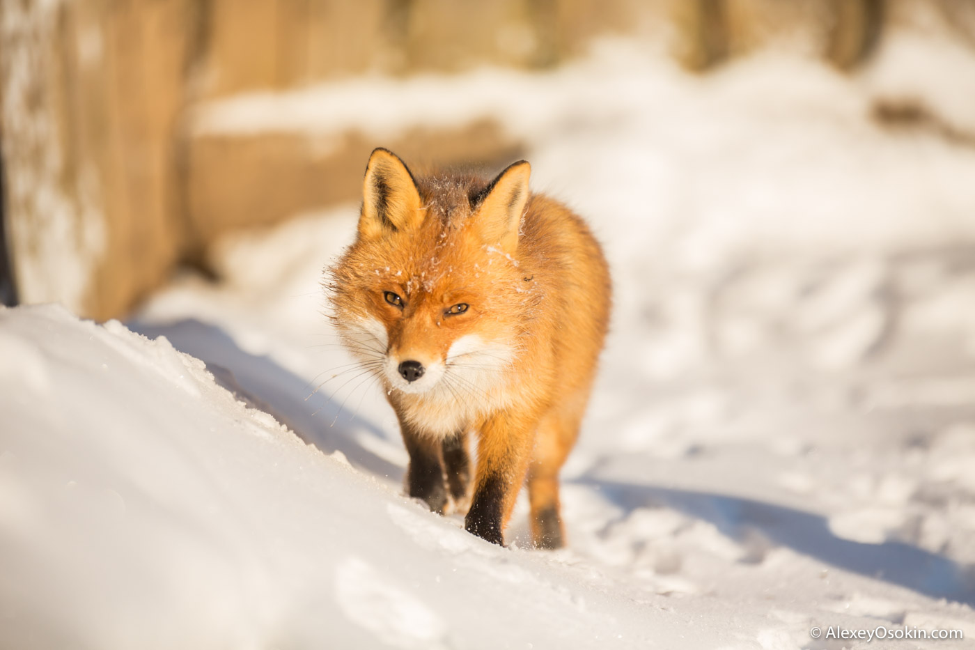 fox_ao-19.jpg
