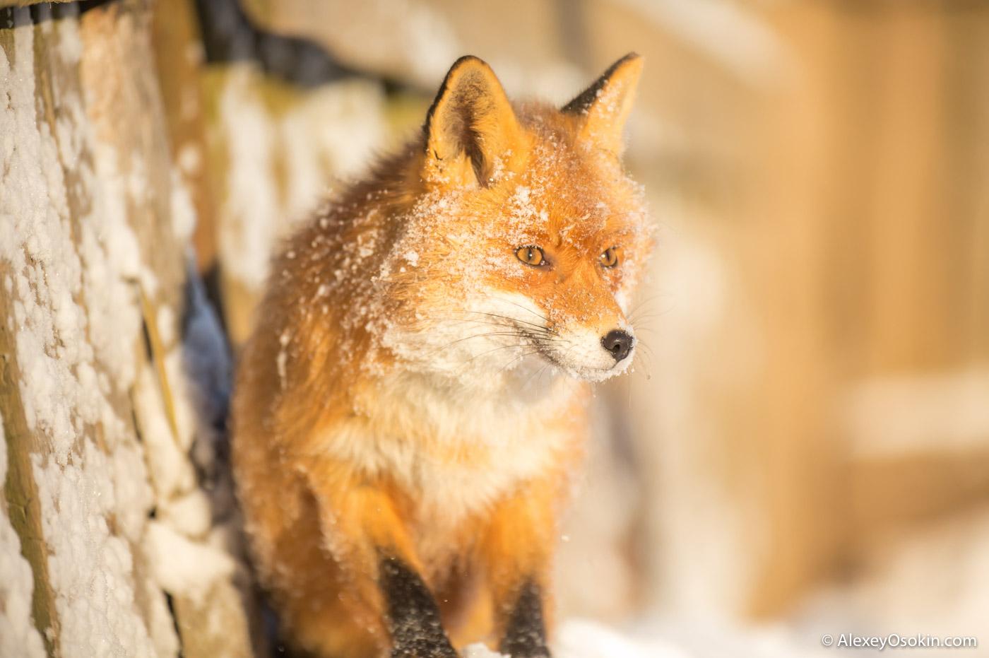 fox_ao-21.jpg