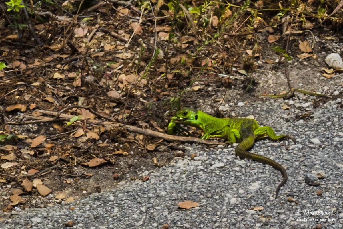 greece, lizard, ящерица, зелёная, Греция