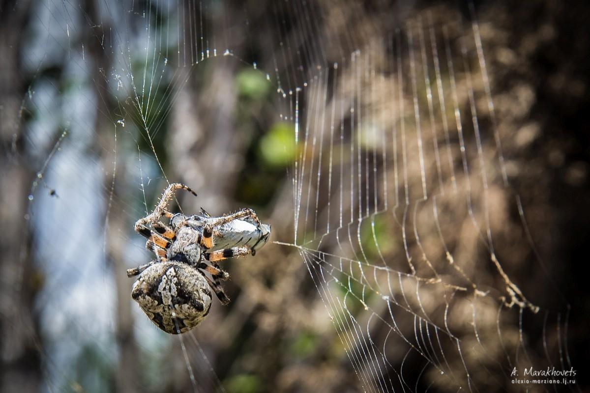 Паук-крестовик ест жука-бронзовку
