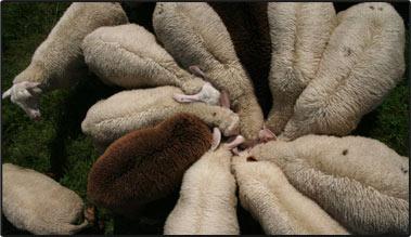 sheep_circle-www.bonnieview.org