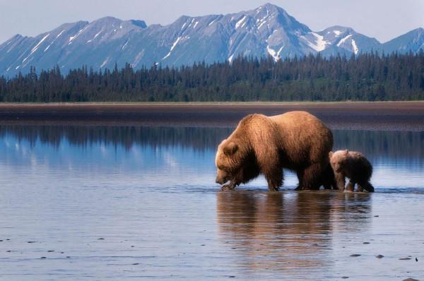 Медведи-на-Аляске