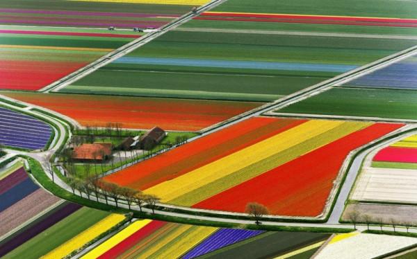 Тюльпановые поля 2