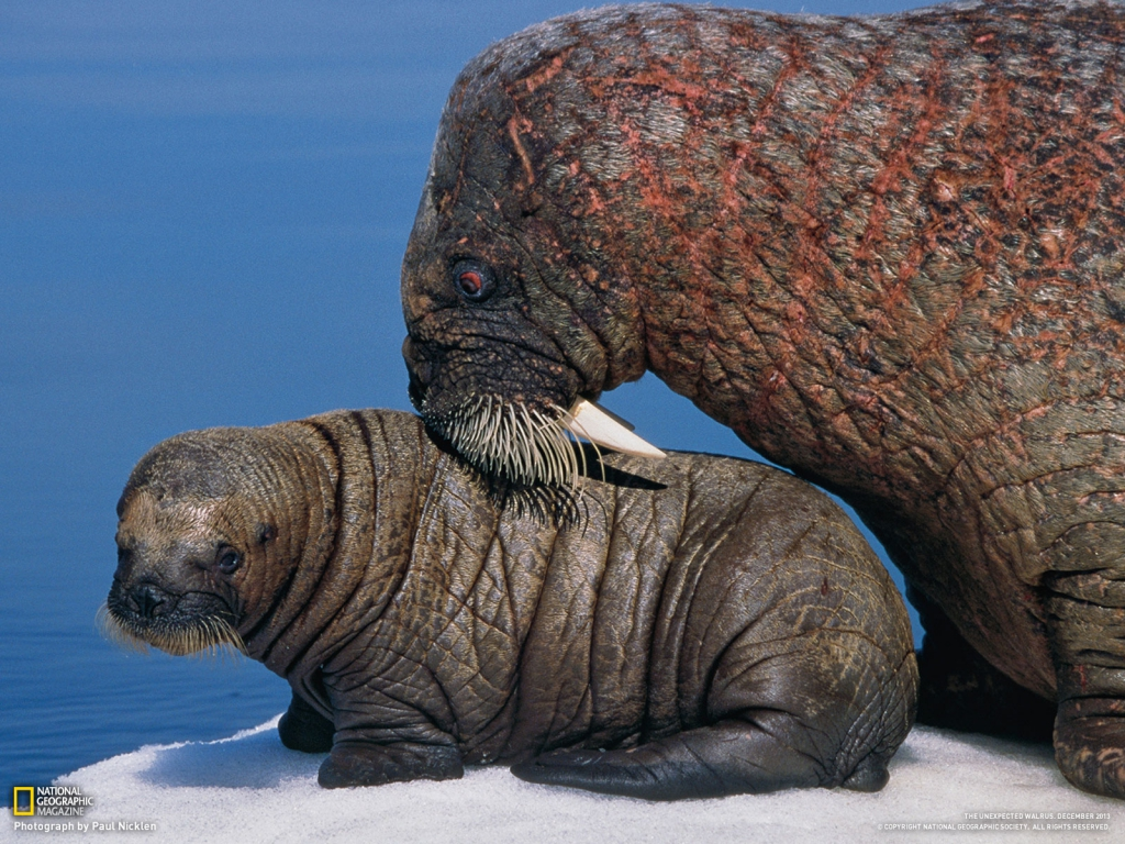 walrus_mother_and_pup_1600_1391078431_1024
