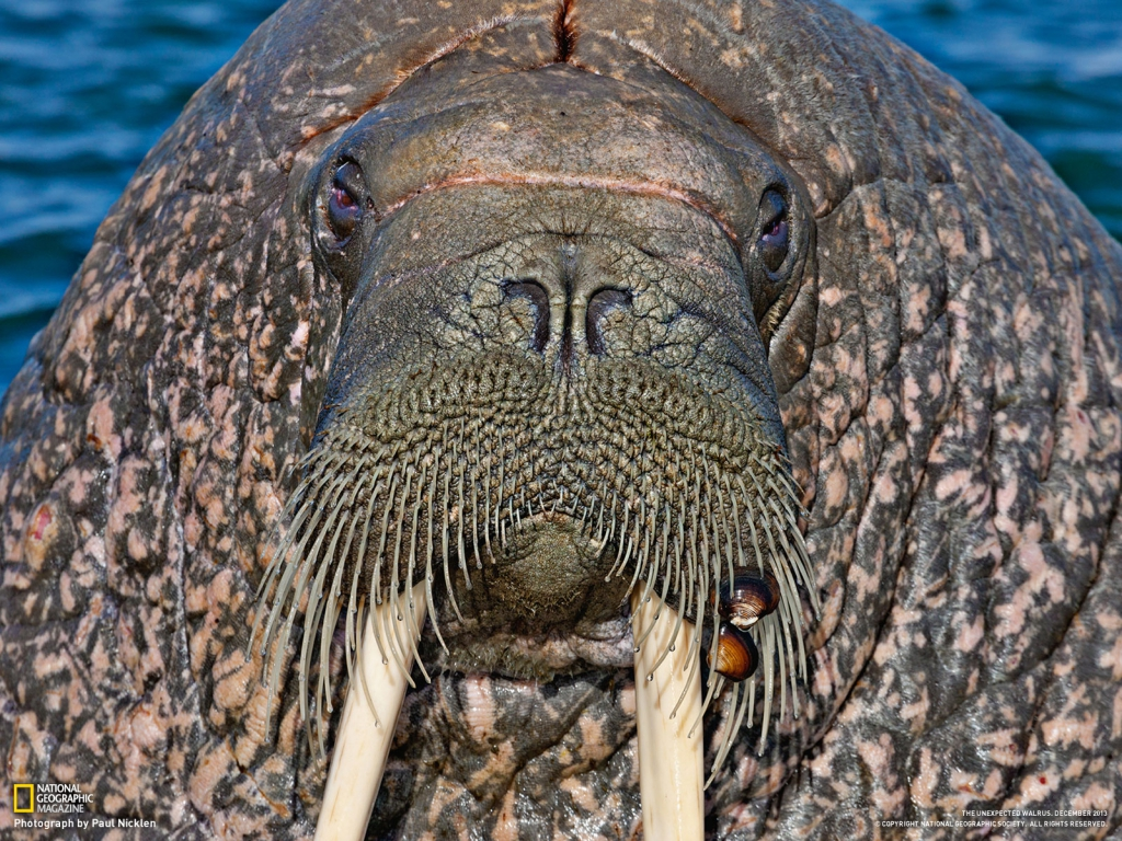 walrus_mustache_with_clams_1600_1391078317_1024