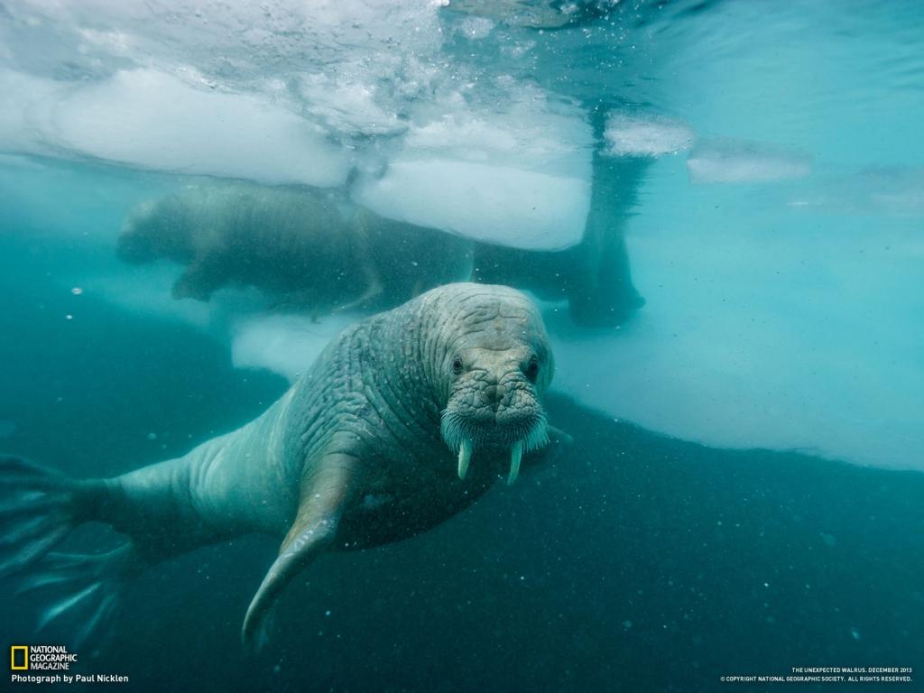 walrus_underwater_1600_1391078246_1024