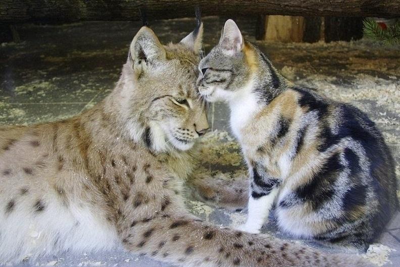 рысь-кошка-друзья-с-детства-1955647